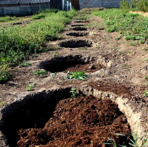 Ленточный способ посадки смородины