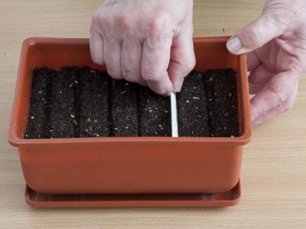 Посев семян петрушки в контейнер