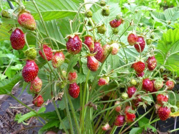 Клубника садовая Шпанка