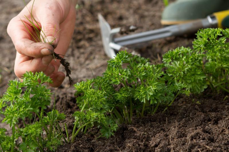 Когда сеять петрушку в открытый грунт: выбор оптимального времени