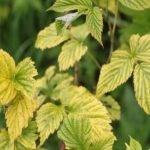 Жёлтые листья малины могут указывать на дефицит азота