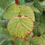 Недостаток калия у малины приводит к постепенному засыханию листовой плпстины