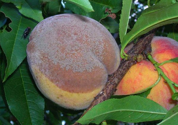 Плоды абрикоса, поражённые монилиозом