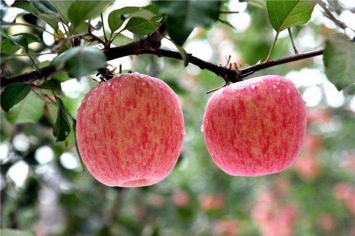 Яблоки Фуджи на ветке