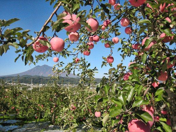 Яблоневый сад в Японии