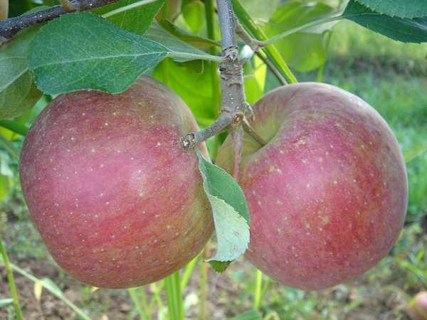 Сорт яблок Раку-Раку