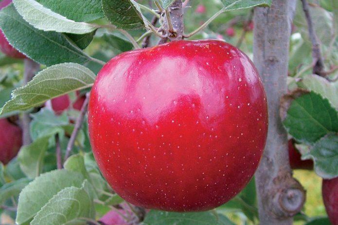 Сорт яблок Зен Ацтек