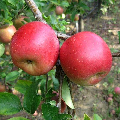 Яблоки сорта Септембер Вондер Фуджи