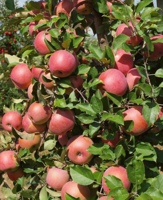 Яблоня сорта Бенни Шогун
