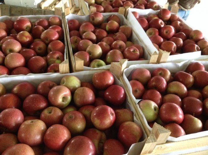 Сорт яблок Фуджи Фубракс