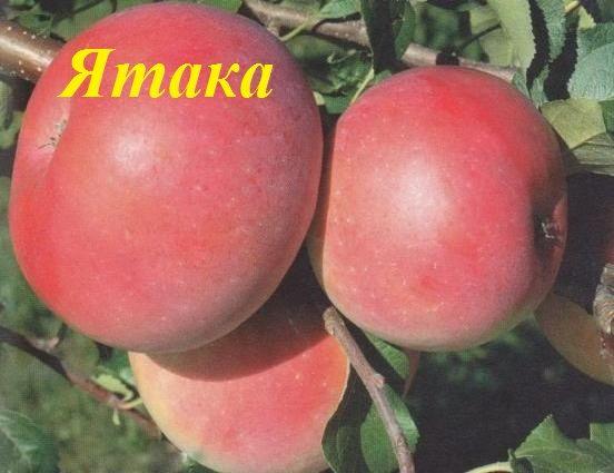 Сорт яблок Ятака