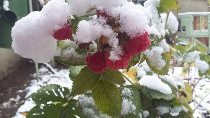 Ремонтантная малина под снегом