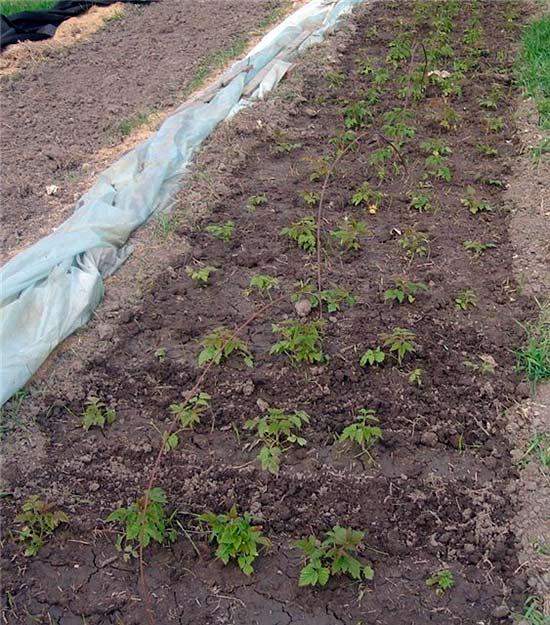 Укоренение крапивки в саду