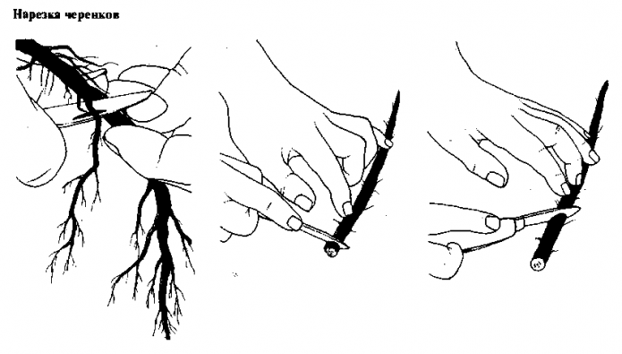 Нарезка корневых черенков