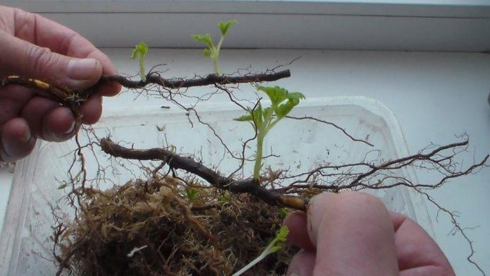Росток на корневом черенке