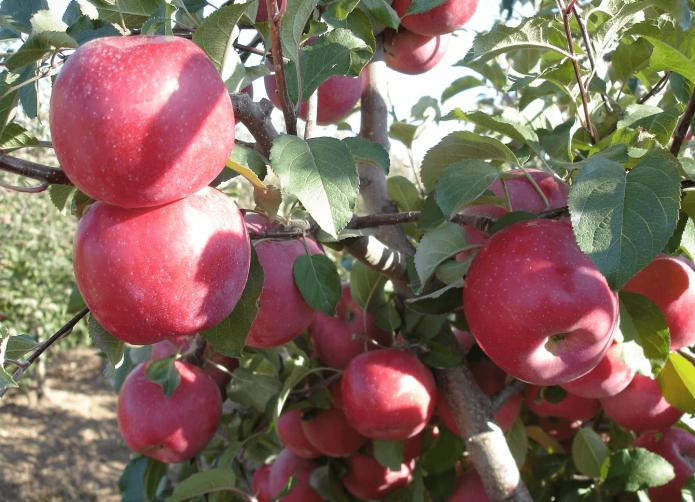 Яблоня сорта Фуджи Кику 8