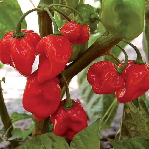 Перец Хабанеро красный