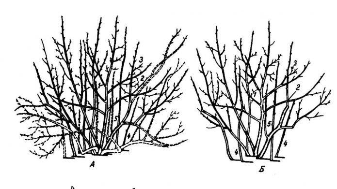 Схема обрезки крыжовника