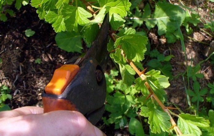 Обрезка крыжовника с распустившимися листьями