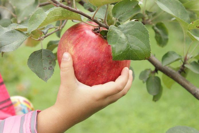 Яблоки сорта Конфетное на ветке