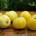 Сорт яблок Китайка золотая