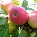 Сорт яблок Красное раннее