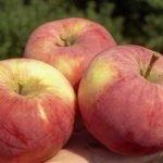 Сорт яблок Орловим
