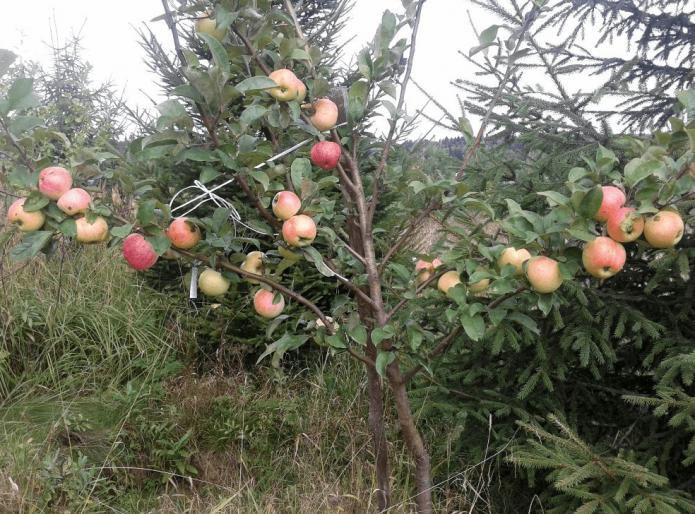 Молодая яблоня сорта Конфетное