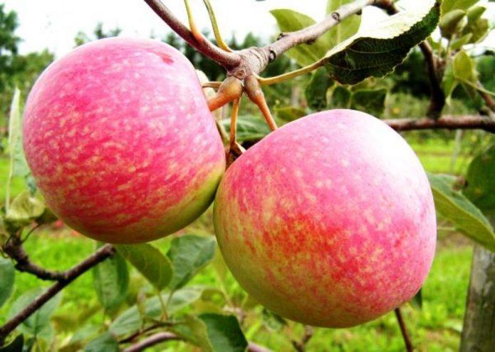 Новый сорт яблок Конфетное-2