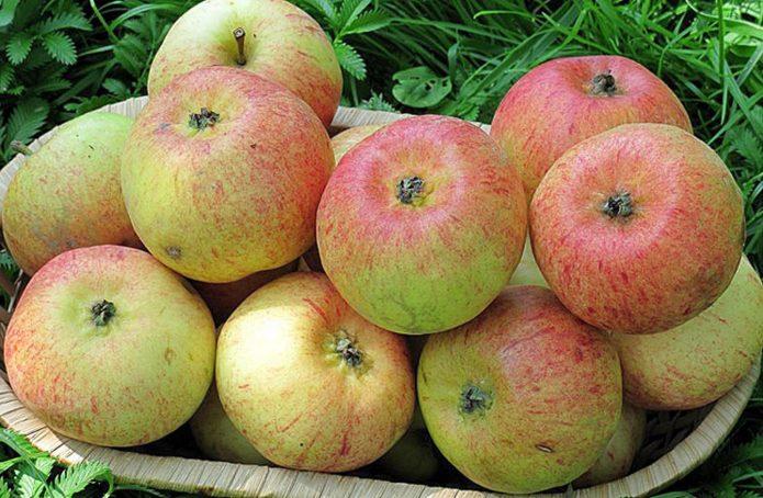 Урожай яблок сорта Конфетное