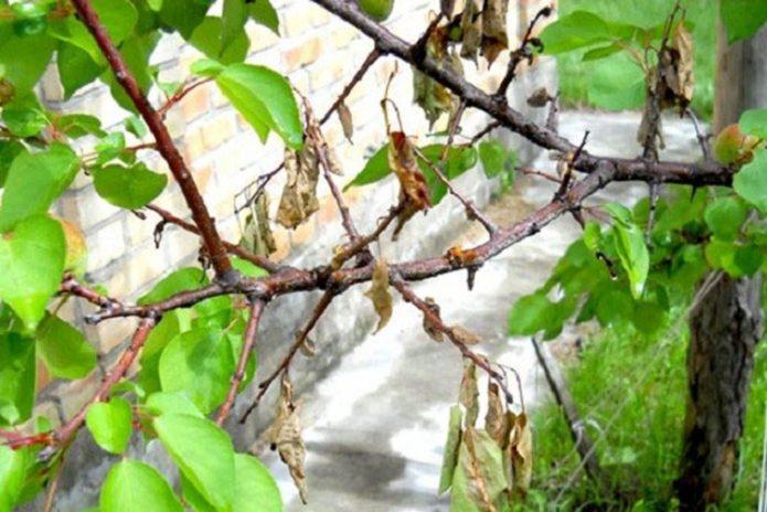 Ветка абрикоса, поражённая монилиозом