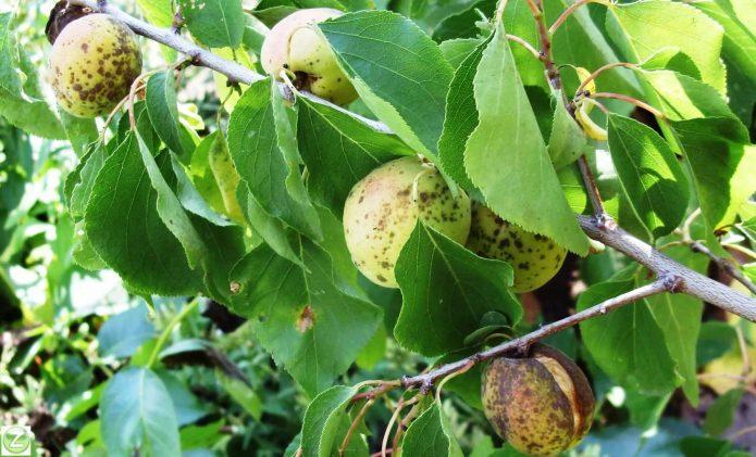 Парша на плодах абрикоса