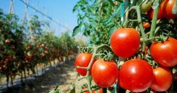 Урожайные помидоры в открытом грунте