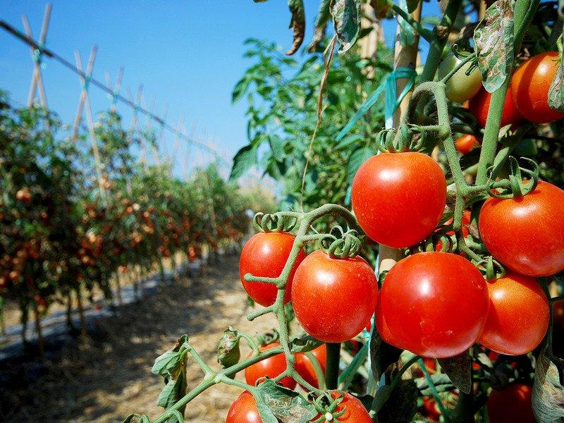 Томат Ирэн характеристика и описание сорта выращивание и урожайность с фото