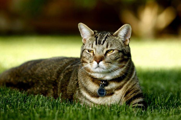 Кот лежит на газоне