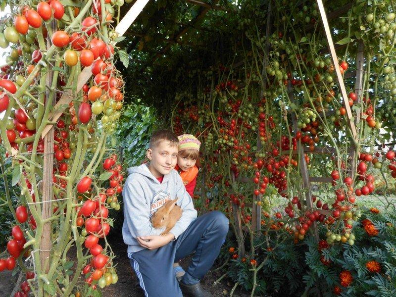 Посадка помидоров в открытый грунт и уход за ними