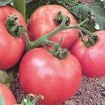 Плоды розовых томатов