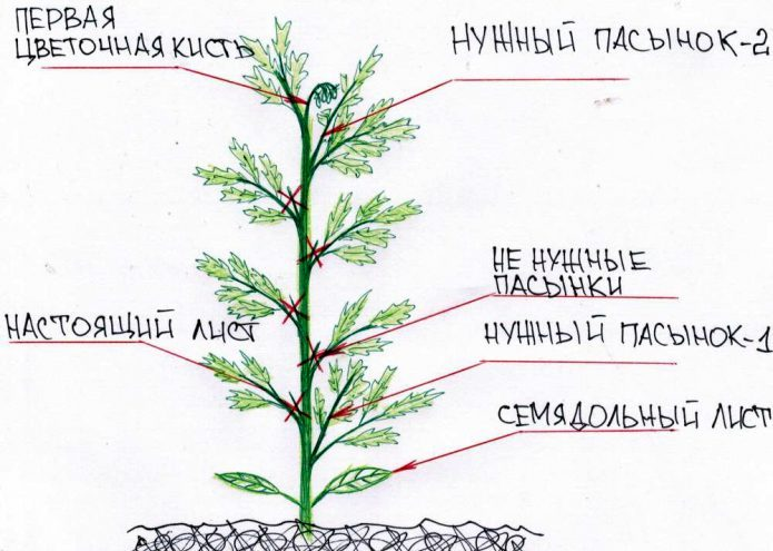 Схема формирования высокорослых томатов