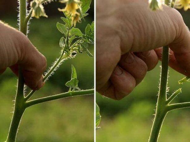 Коллаж: пасынкование томатов