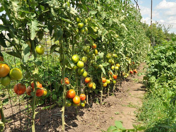 Подвязка томатов к шпалере