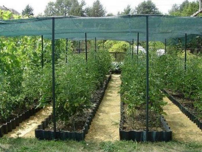 Грядки томатов, укрытые затеняющей сеткой