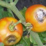 Бурая гниль томатов