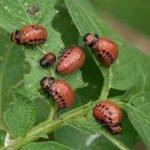 Личинки колорадского жука на листьях