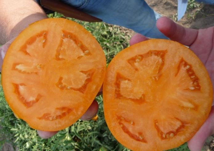 Многогнёздный томат