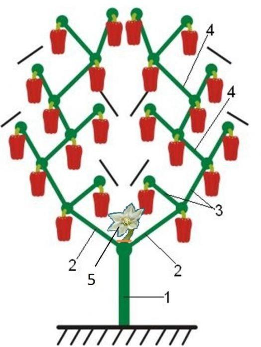 Схема формировки горького перца