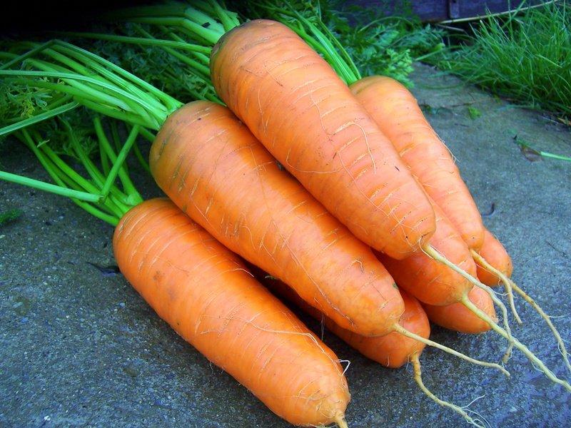 Морковь Шантане: 2461 королевская, описание сорта Кордоба f1, Ред Коред 2, фото, характеристика гибридов, срок хранения