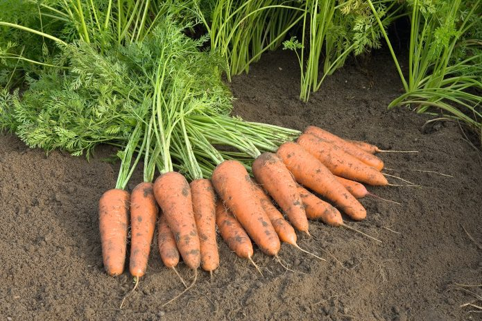 Морковь после прореживания
