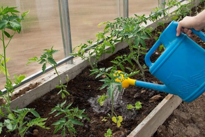Полив томатов под корень