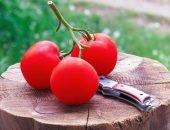 Кисть спелых томатов