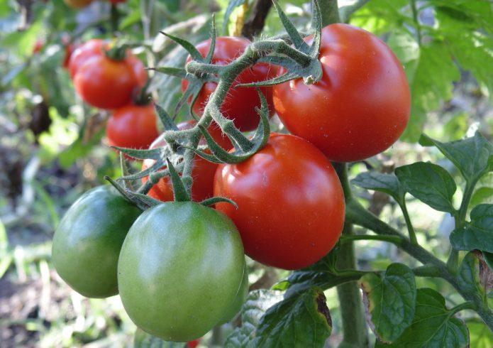 Сорт томата Северная малютка